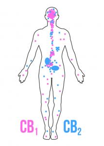 CBD Krebs Studien
